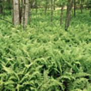 146112 Ferns In Pisgah Nat Forest V Art Print