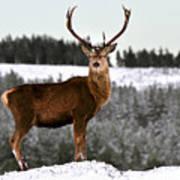 Red Deer Stag Art Print