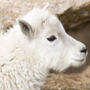 Baby Mountain Goats On Mount Evans Art Print