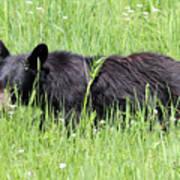 American Black Bear Yellowstone Usa Art Print