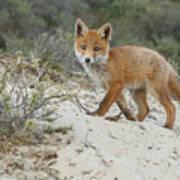 Red Fox Cub Art Print