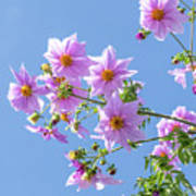 Fully Bloomed Pink Dahlia Imperialis At Garden In November Art Print