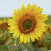 Nice Sunflower Art Print