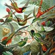 1899 Hummingbird Species Art Forms Of Nature Print Art Print