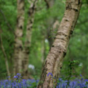 Shallow Depth Of Field Landscape Of Vibrant Bluebell Woods In Sp Art Print