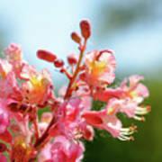 Aesculus X Carnea, Or Red Horse-chestnut Flower Art Print