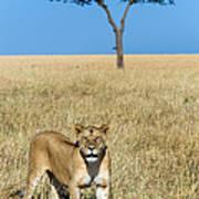 African Lioness Panthera Leo, Serengeti Art Print