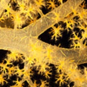 Alcyonarian Coral Art Print