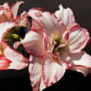 Amaryllidaceae Hippeastrum Amorice Art Print