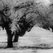Apple Orchards In Dixon Art Print