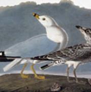 Audubon: Gull Art Print