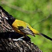 Audubon Oriole Art Print