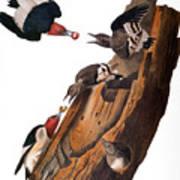 Audubon: Woodpecker Art Print