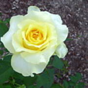 Australia - Yellow Rose Flower Art Print