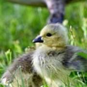 Baby Goose Chick Art Print