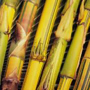 Bamboo Stalks Art Print