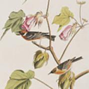 Bay Breasted Warbler Art Print