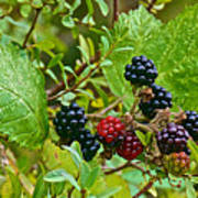 Berries In Vicente Perez Rosales National Park Near Puerto Montt-chile  Art Print