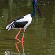 Black-necked Stork Art Print
