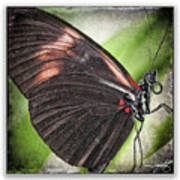 Brush-footed Butterfly Art Print