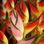 Bunch Of Heliconia Art Print