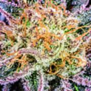 Cannabis Varieties Art Print