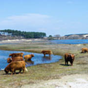 Cattle Scottish Highlanders, Zuid Kennemerland, Netherlands Art Print