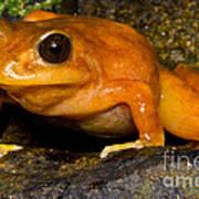 Chilean Tomato Frog Art Print