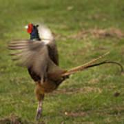 Crowing Pheasant Art Print