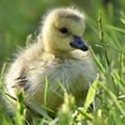 Cute Baby Goose Art Print