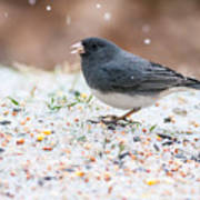 Dark Eyed Junco Art Print