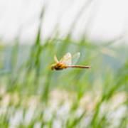 Dragonfly Flying Art Print