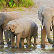 Elephants At The Bank Of Chobe River In Botswana Art Print