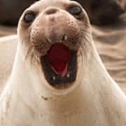 Female Northern Elephant Seal Mirounga Angustirostris Art Print