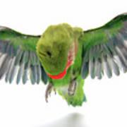 Flying Parrot  Art Print