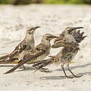Galapagos Hood Mockingbird Art Print