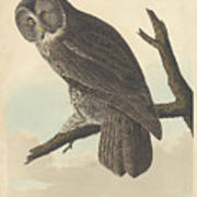 Great Cinereous Owl Art Print