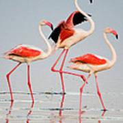 Greater Flamingos Phoenicopterus Roseus Art Print