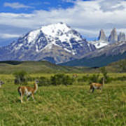 Guanacos In Torres Del Paine Art Print
