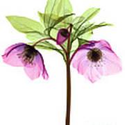 Hellebore Flowers, X-ray Art Print