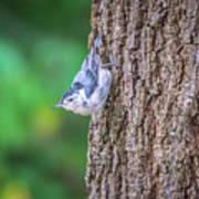 Huthatch Bird  Nut Pecker In The Wild On A Tree Art Print