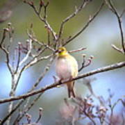 Img_0001 - American Goldfinch Art Print
