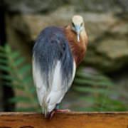 Javan Pond Heron At Zoo Berlin Art Print