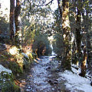 King Billy Forest Cradle Mountain Art Print