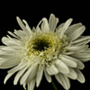 Leucanthemum Highland White Dream Art Print
