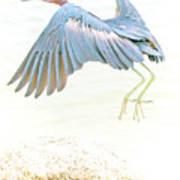 Little Blue Heron In Flight Art Print