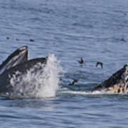 Lunge-feeding Humpback Whales Art Print