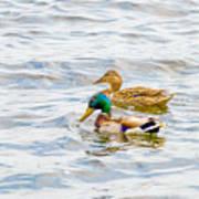 Male And Female Ducks Art Print
