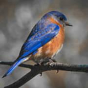 Male Eastern Bluebird Art Print