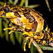Marbled Wood Frog Art Print